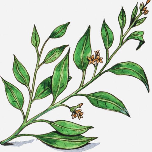Geissospermum Vellosii
